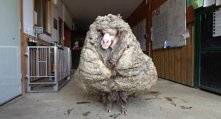 Cừu Baarack khi được phát hiện với bộ lông đồ sộ, che khuất cả tầm nhìn.