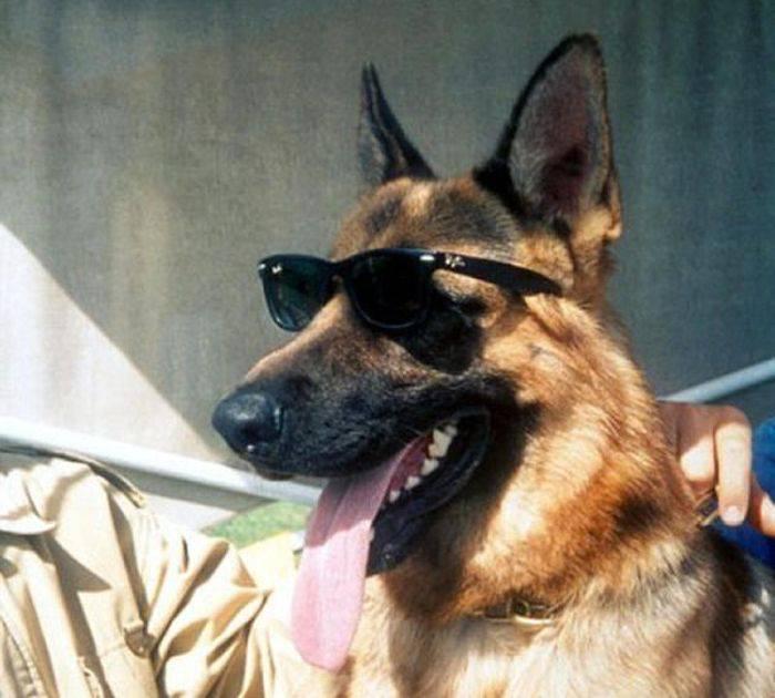 Gunther IV, chó chăn cừu Đức, siêu thông minh và...đẹp trai.