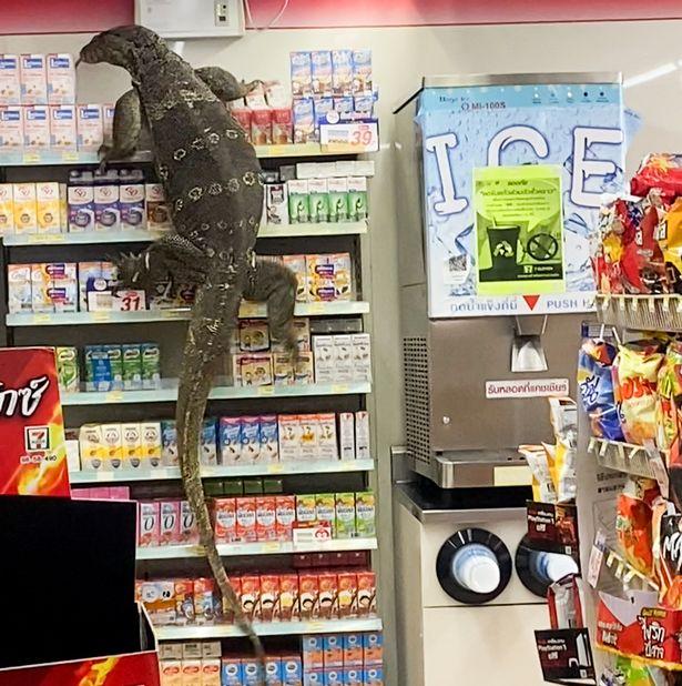 Choáng váng vì thằn lằn khổng lồ vượt khỏi mương trèo lên kệ siêu thị - 2