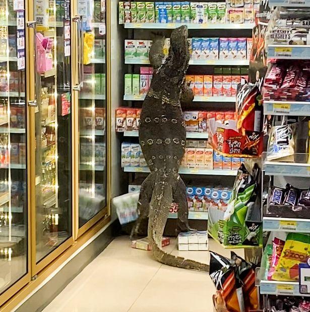 Choáng váng vì thằn lằn khổng lồ vượt khỏi mương trèo lên kệ siêu thị