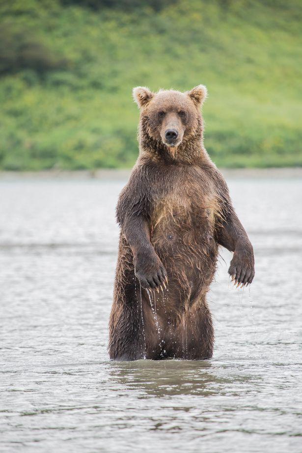 Loài gấu nâu.