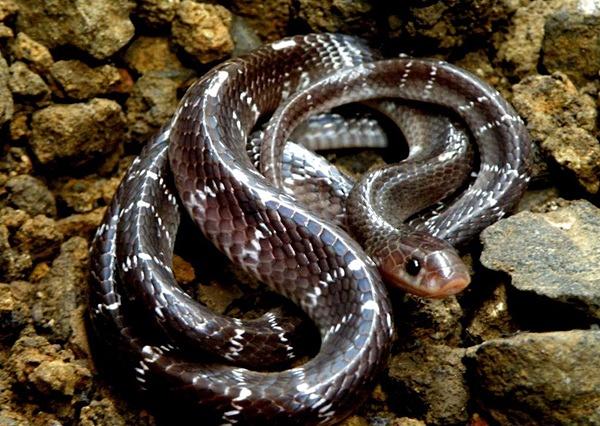Rắn cạp nia là một trong tứ đại rắn độc ở Ấn Độ.